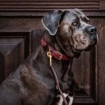 Kentucky dogwear plaited dog lead- Bordeaux
