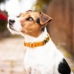 Kentucky dogwear Velvet collection dog Collar - Mustard